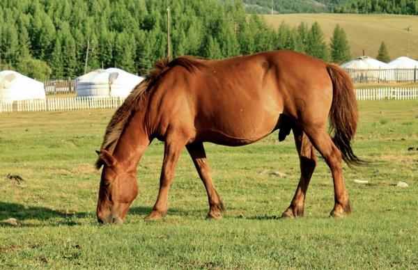 Чем отличается монгольская лошадь внешний вид характеристики породы