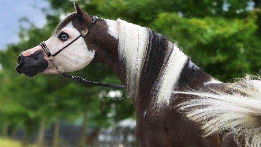 Выставочная лошадь