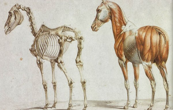 Скелет лошади строение особенности