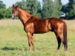 Будённовская порода лошадей