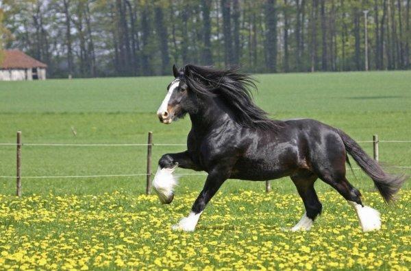 Лошадь породы Шайр: описание и характеристика коня