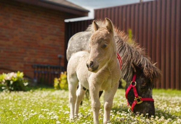 Самая маленькая лошадь в мире: как называется порода, описание с фото, видео