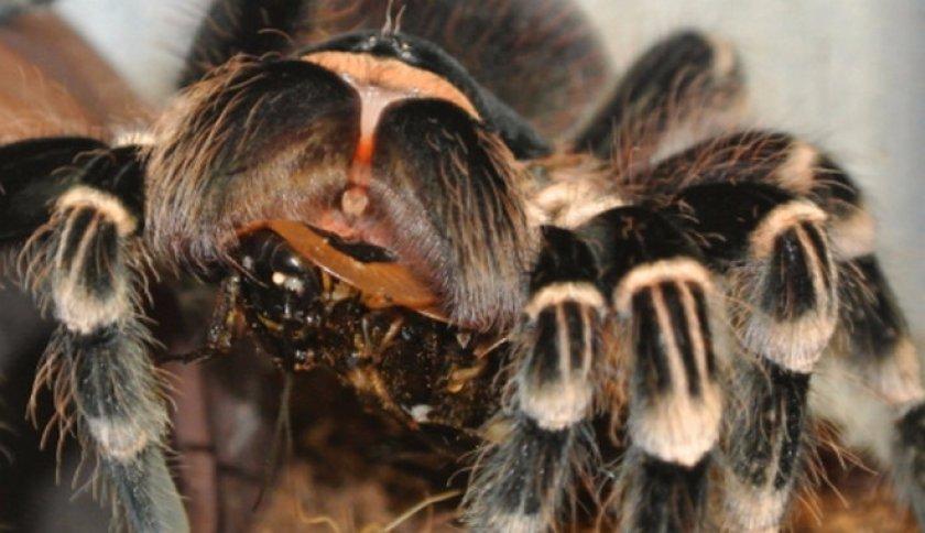 Кормление пауков птицеедов