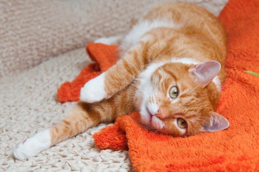 Препарат Конефрин при пиелонефрите кошкам