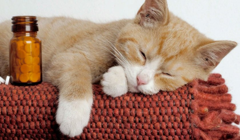 Как давать коту препарат от цистита