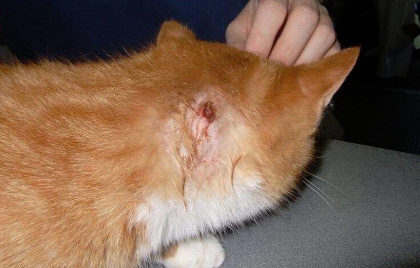 Гнойная рана у кошек