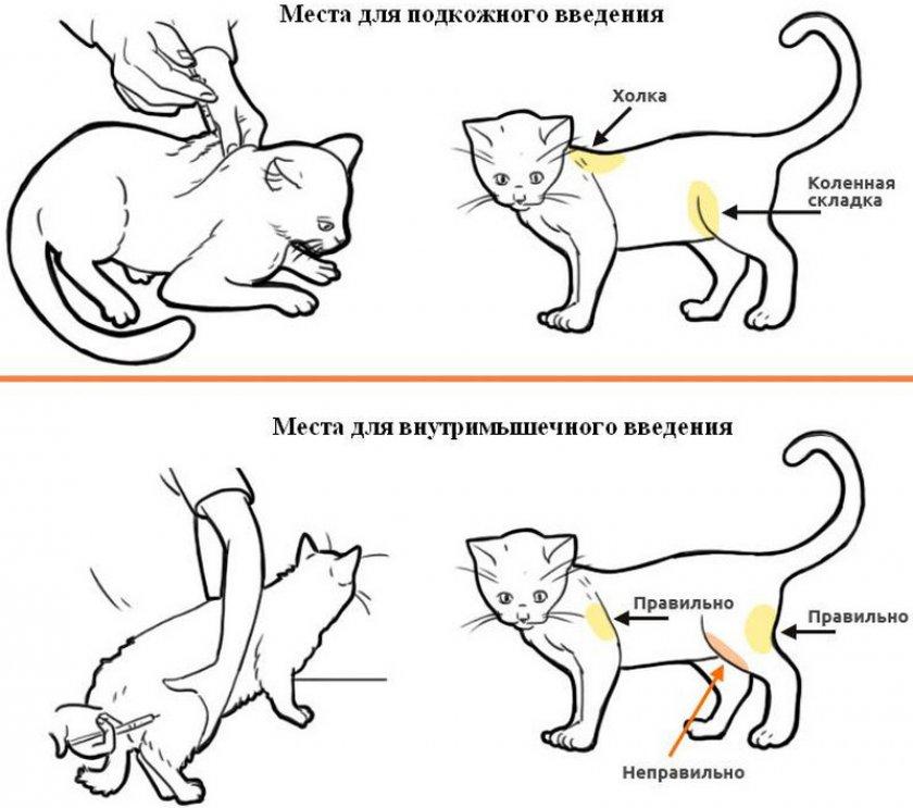 Вакцинация кошки
