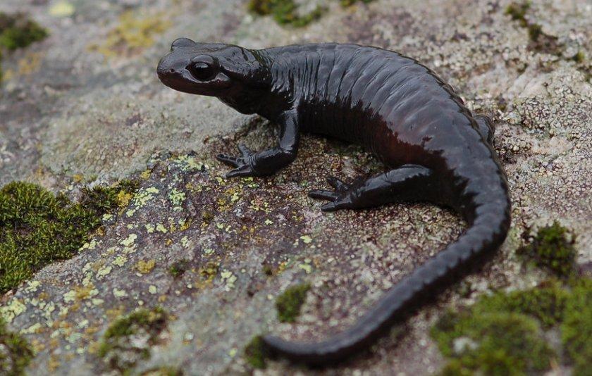 Альпийская (черная) саламандра