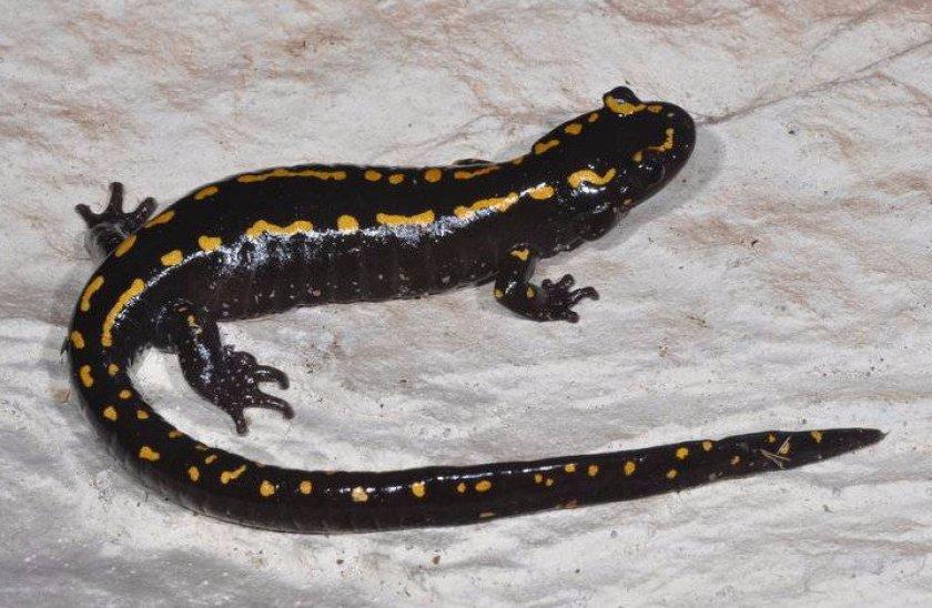 Кавказская саламандра