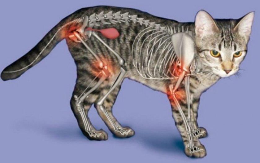Артрит у кошки