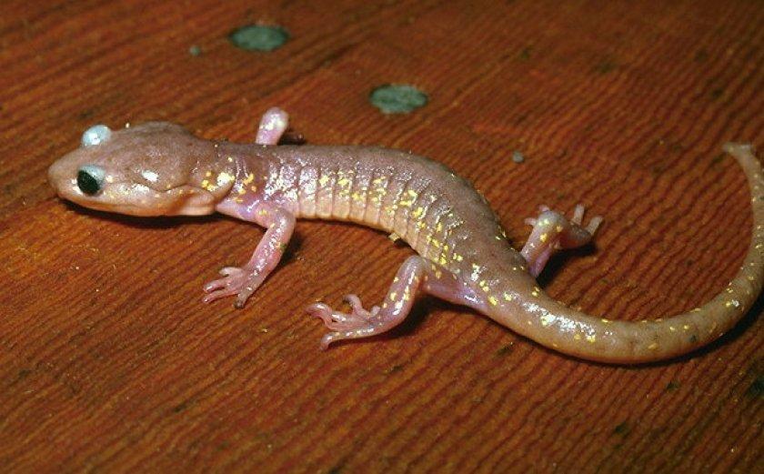 Древесная саламандра