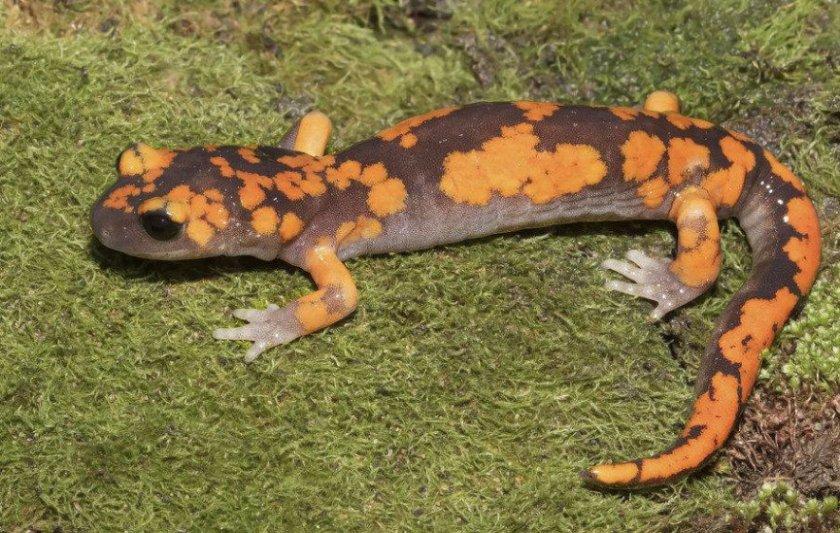 Тихоокеанская саламандра