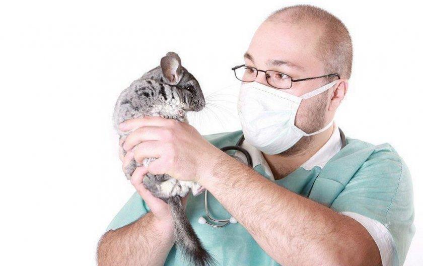 Шиншилла на приеме у ветеринара