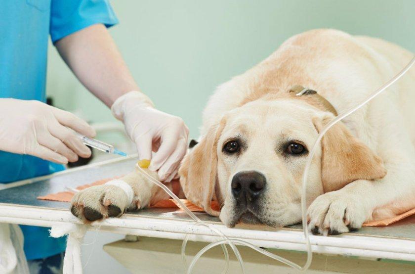 Диагностику болезни проводит ветеринар