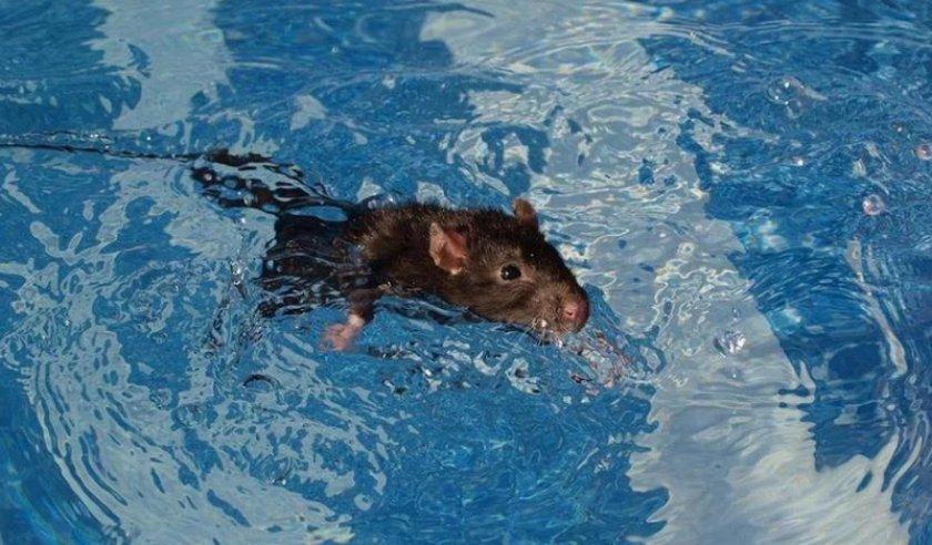 Крыса плавает