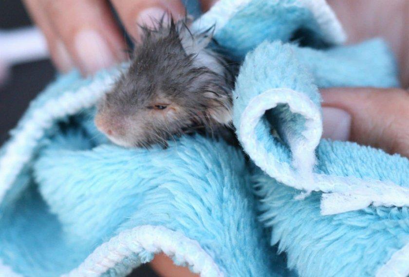 Обтирание крысы полотенцем