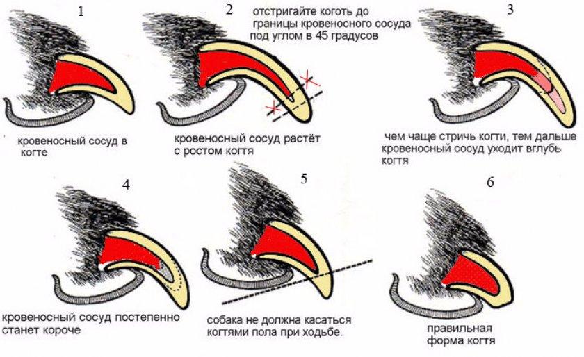 Схема стрижки когтей
