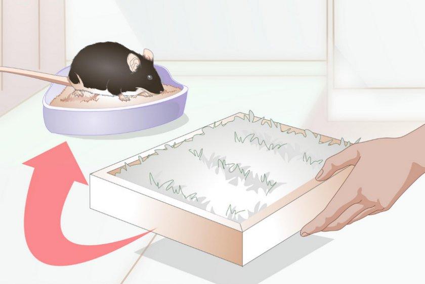 Приручение крысы к лотку
