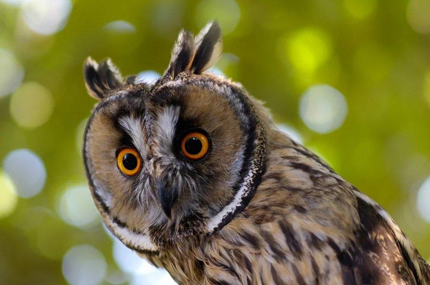 фото ушастой совы снимок камерой или