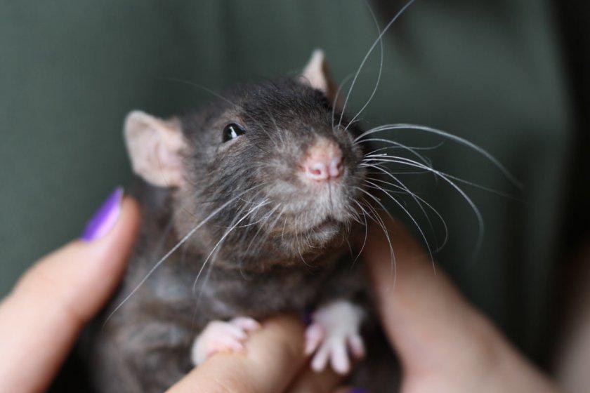 крыса с крысятами фото русых