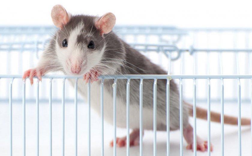 Молодая крыса
