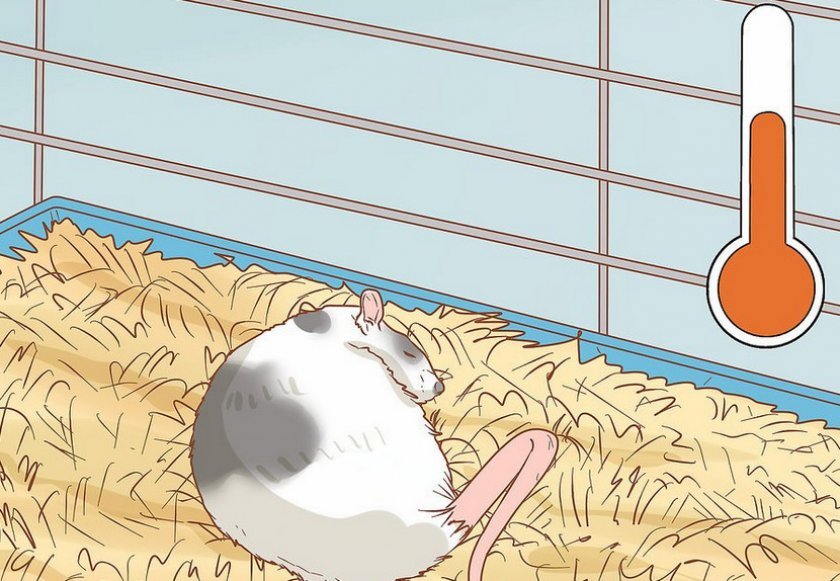 Уход за крысой после операции