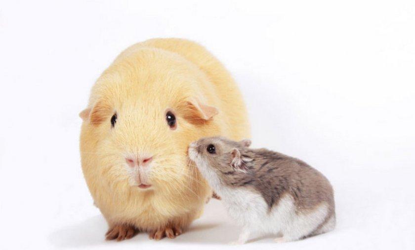 картинки морские свинки и хомяки залы