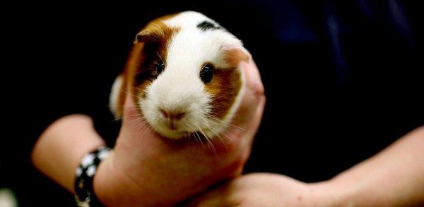 Морские свинки: содержание и уход в домашних условиях