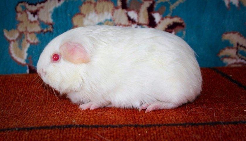 Морская свинка альбинос
