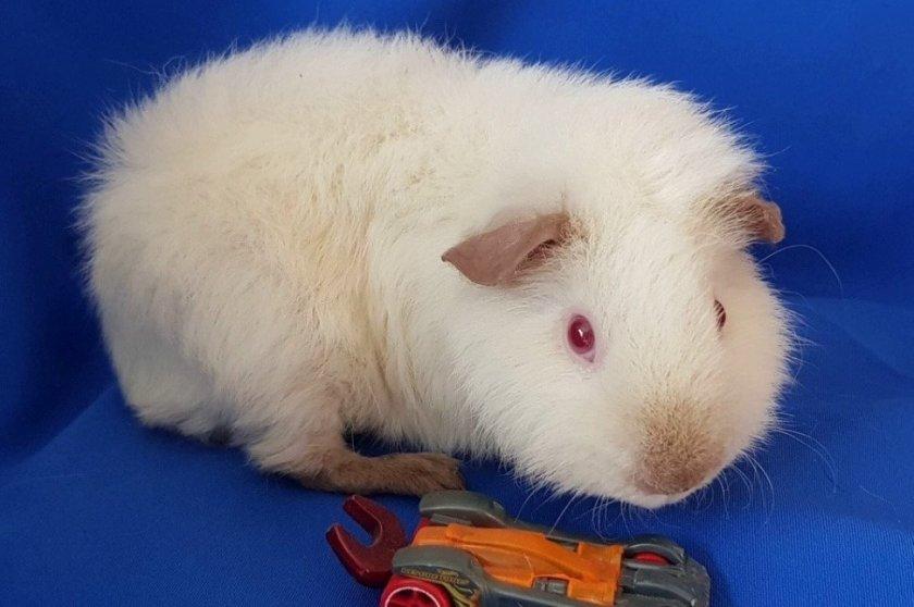 Морская свинка альбинос породы Тедди