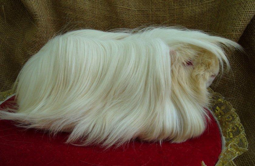 Перуанская морская свинка альбинос