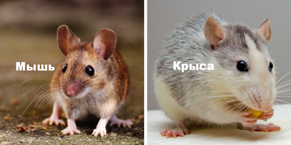 Детеныш крысы и мыши