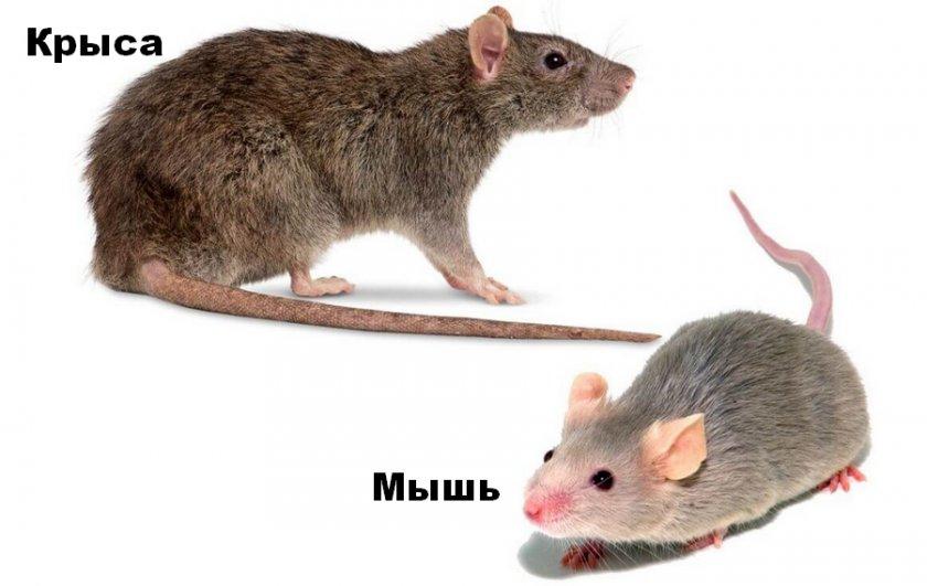 Крыса и мышь