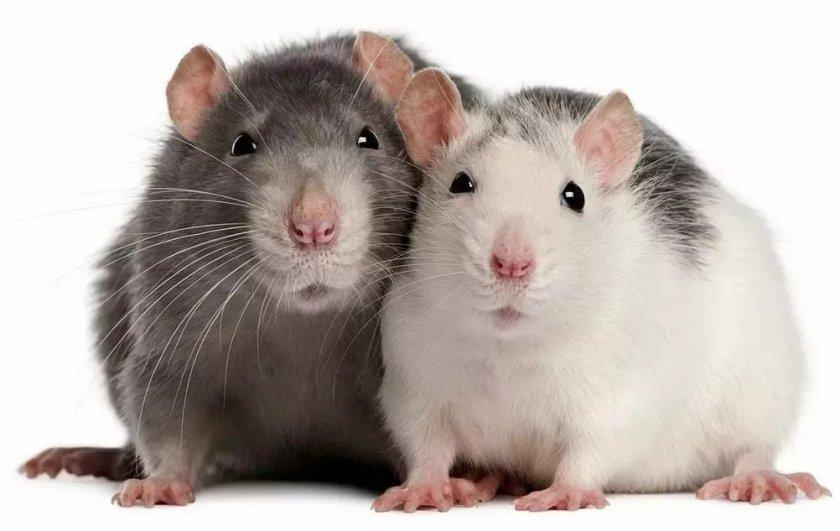 Спаривание мышей