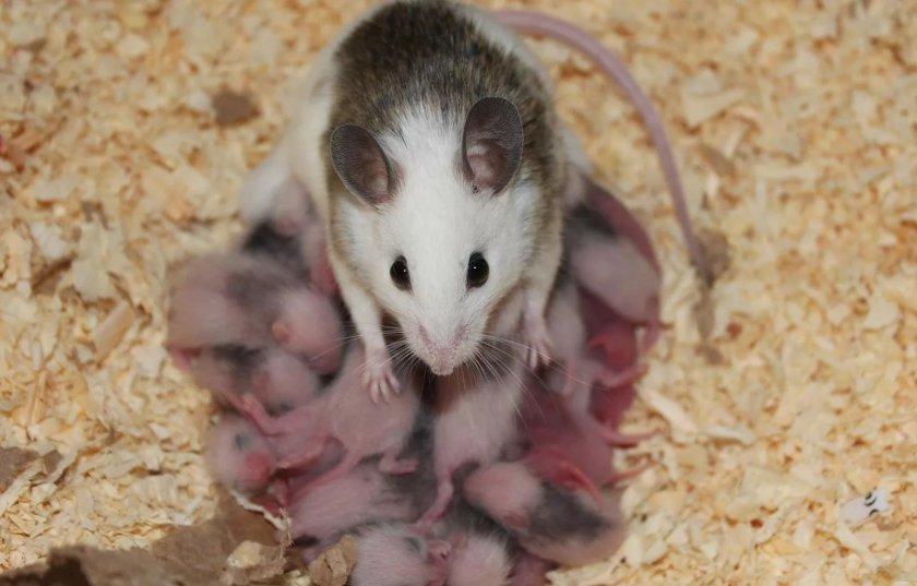 Уход за новорождёнными мышатами