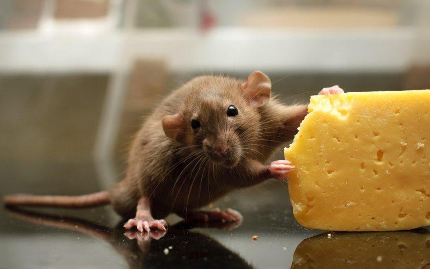 Мышь с сыром
