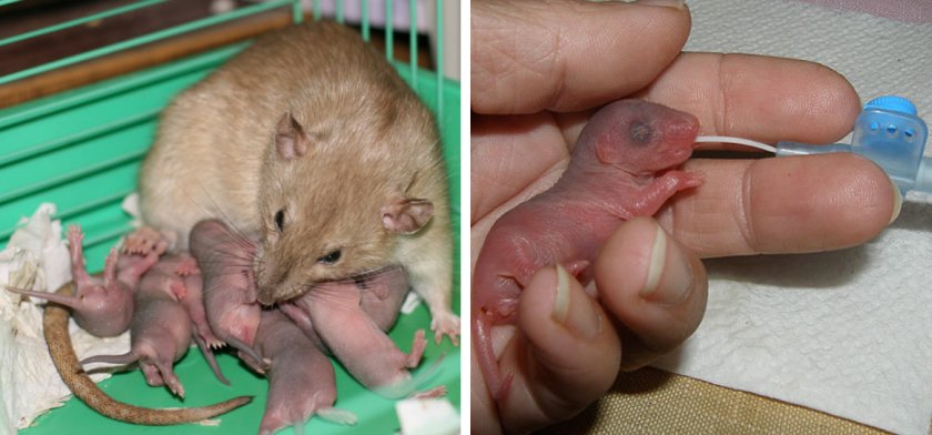 Кормление новорождённых мышат