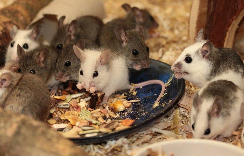 Мышки едят