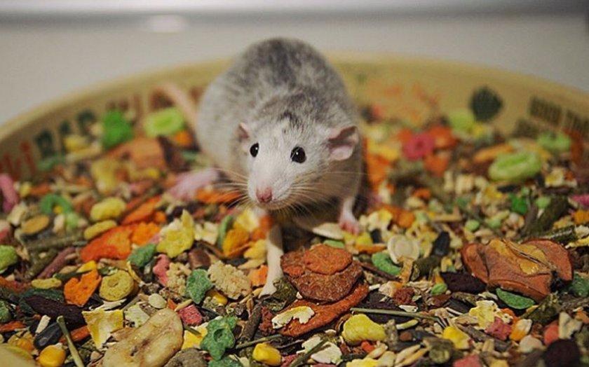 Корм для крысы