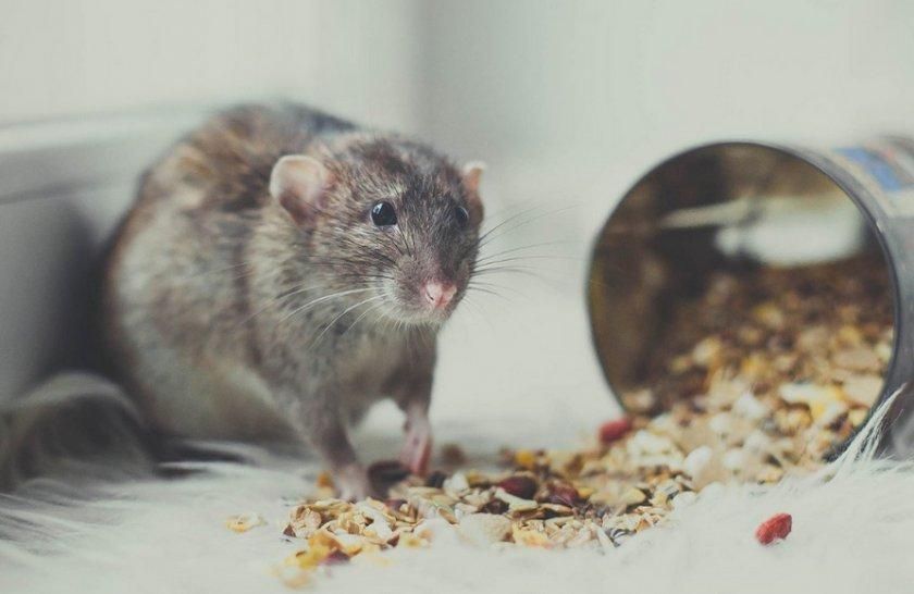 Еда для крысы