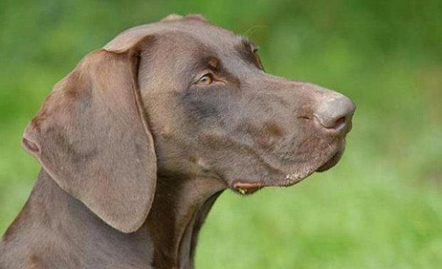 Собака породы курцхаар: описание, фото, характер, история, содержание, уход