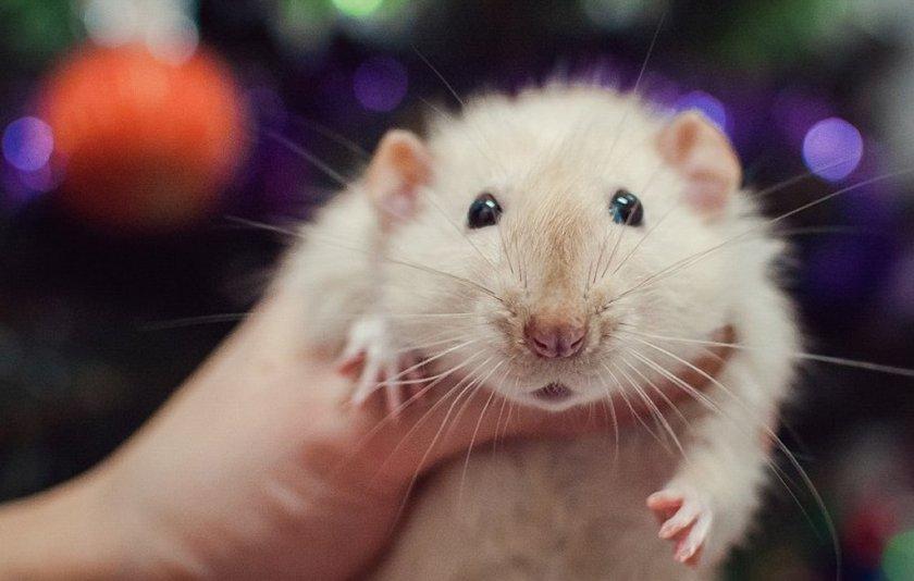 Крыса-мальчик