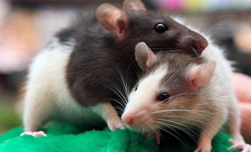 Крысы