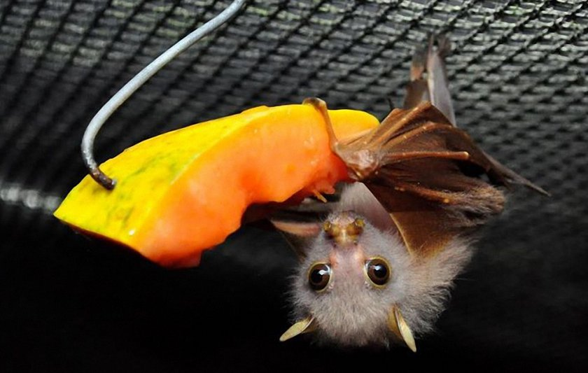 Еда для летучей мыши