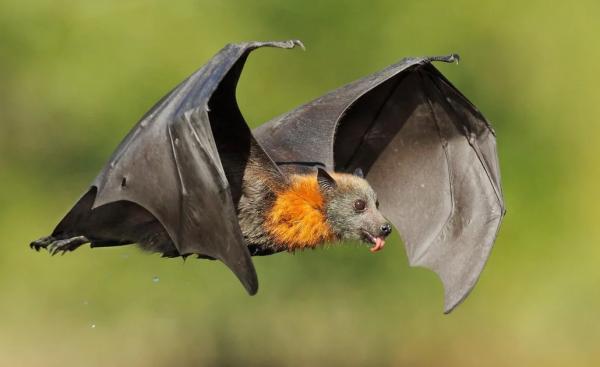 Что едят летучие мыши в домашних условиях: чем и сколько надо кормить, чем питаются животные