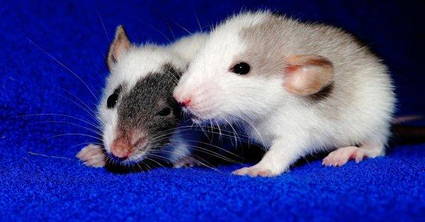 Крыса и мышь в одной клетке