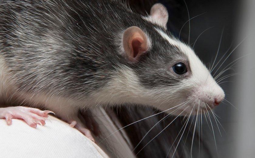 Крыса хаски