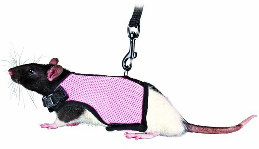 Шлейка для крысы