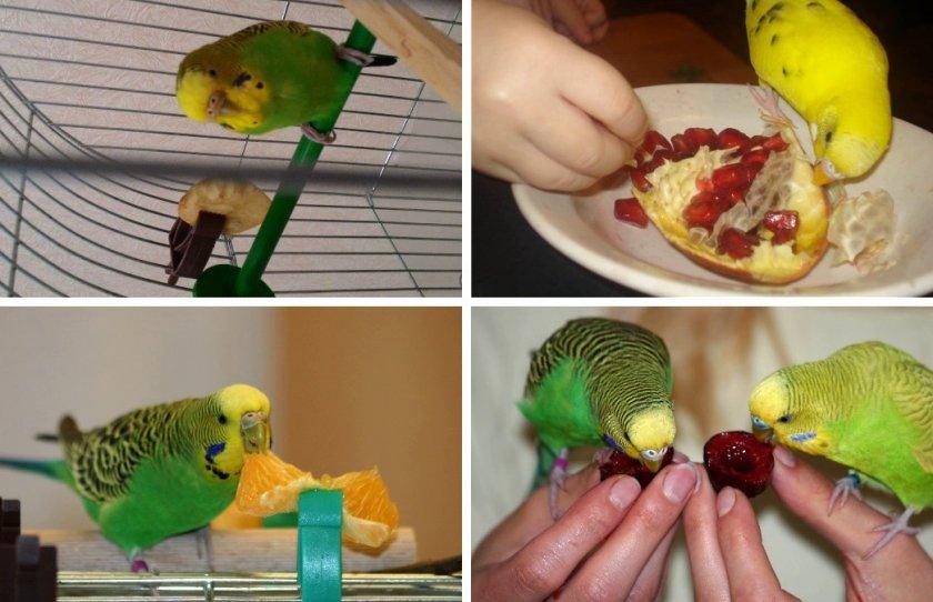 Фрукты и ягоды в рационе волнистых попугаевм
