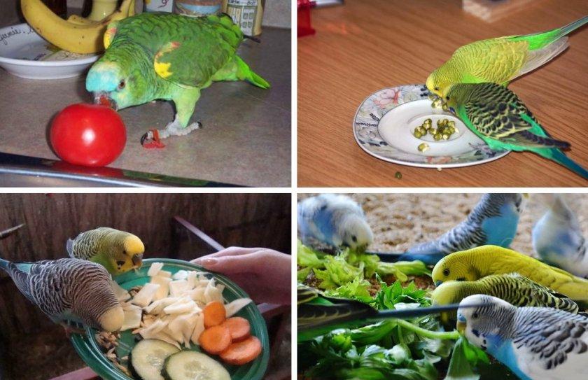 Овощи в рационе попугая